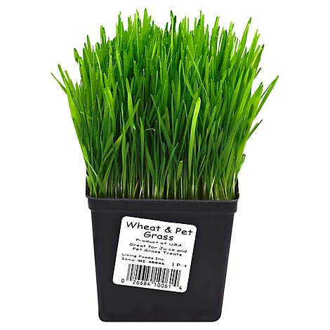 Wheat Grass - Each