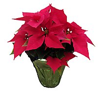 Red Poinsettia - 6.5 Inch