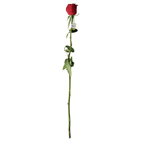 Red/white/pink Single Stem Rose - EA